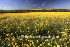 Summer Oil seed rape fields, Barrowden village
