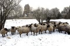 Flock of Sheep, All Saints church, Tinwell village