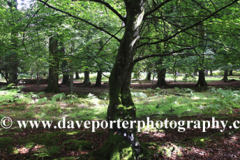 Woodland trees and Ferns, White Moor, New Forest