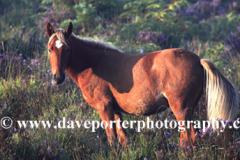 New Forest Pony, Bolderwood heath