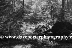Misty sunrise; Bolderwood woods, New Forest