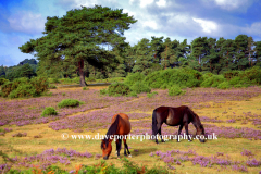 New Forest Ponies White Moor