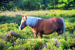 Pony grazing in the New Forest