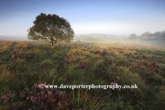 Misty morning sunrise; Bratley Plain, New Forest
