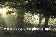 Misty sunrise Woodland, White Moor, New Forest