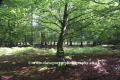 Woodland trees, White Moor, New Forest