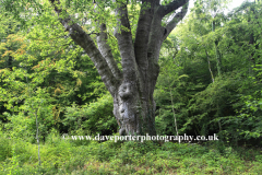 The Knightwood Oak, the largest tree in the New Forest