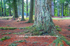 Pine Woodland, Broomy Plain, New Forest