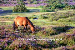 Pony on Hatchet Heath, New Forest