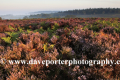 Misty morning sunrise; Ibsley Common, New Forest