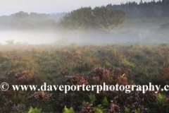 Misty morning sunrise; Broomy Plain, New Forest