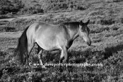 New Forest Pony at White Moor