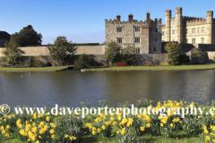 Spring Daffodil flowers at Leeds Castle, Kent,  England; UK