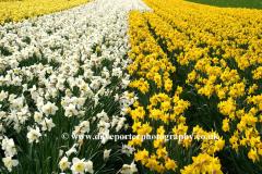 Spring Daffodil flowers, Spalding