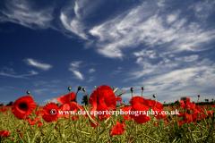 Poppy Fields Castle Acre Norfolk