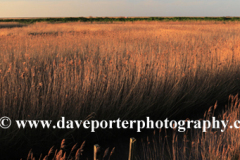 Sunset view over reed beds, Cley-next-the-Sea village, North Norfolk Coast, England, UK