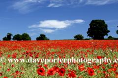 Summer Poppy Fields, Castle Acre village, North Norfolk, England, UK