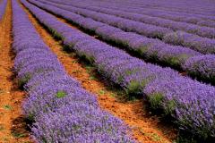 J02044 Fields of Lavender grown for the Norfolk Lavender centre Heacham North Norfolk England Britain UK