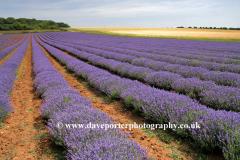 Fields of Lavender, Heacham village, North Norfolk, England, UK