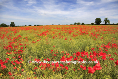Fields of common Poppy flowers Papaver rhoeas near Dereham town, Norfolk, England, UK