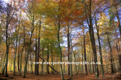 5 Autumn Woodland Thetford Forest Norfolk England UK