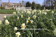 Spring Daffodils, Wadenhoe village green, Northamptonshire, England, UK
