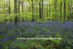 Carpet of Bluebell Flowers, Sherwood Forest