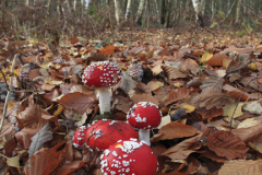 Fly Agaric fungi Toadstools, Sherwood Forest