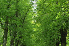 Spring, Common Lime Trees Avenue, Clumber Park