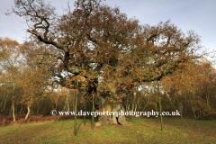 Autumn colours, the Major Oak, Sherwood Forest