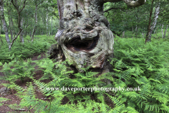 Face in a tree trunk, Sherwood Forest