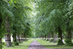 Spring Common Lime Trees Avenue, Clumber Park