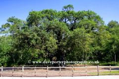 The Major Oak Tree, Sherwood Forest