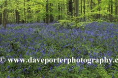 Carpet of Bluebell Flowers in Sherwood Forest