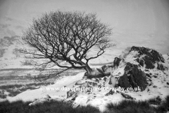 Winter Tree, Pass of Llanberis, Snowdonia