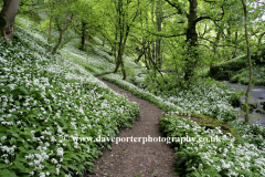 Wild Garlic Woodland Mallam village