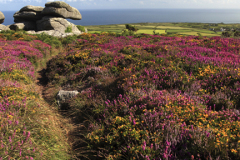 Gorse and Heather Moorland, Rosewall Hill, St Ives