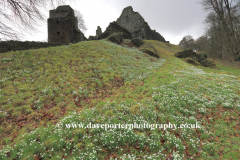 Snowdrops, Ruins of Oakhampton Castle