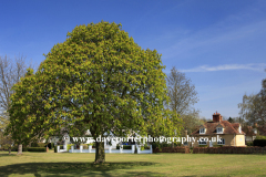 Chestnut Tree, village green, Ickwell village