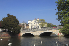 Swans on the river Great Ouse, Bedford town
