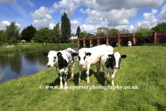 Cows at the river Great Ouse, Great Barford village, Bedfordshire, England, UK