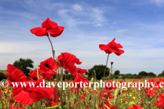 Fields of common Poppy flowers