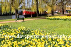 Spring Daffs Garden of Hope Peterborough City, Cambridgeshire, England, UK
