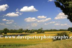 Buttercup fields, river Nene valley, near Castor village, Cambridgeshire, England, UK