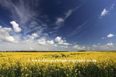 Summer Oil seed rape fields near Ely City, Fenland, Cambridgeshire County; England; UK