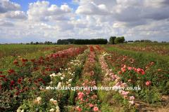Summer, June, July, Rose fields, Wisbech town, Cambridgeshire; England; Britain