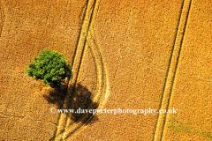 Single tree, Wheat fields. Fenland, Camb's