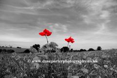 Spot Coloured Common Poppy flowers
