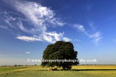 Beech Tree in a Summer Fenland field, near March town