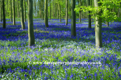 Bluebell woods, Ferry Meadows Park, Peterborough